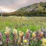Alpine Meadow Wilson