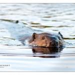 Beaver_MG_2851sm
