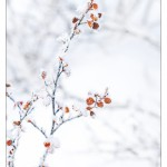FrostyBranch_MG_9386