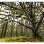 HaidaGwaii forest_MG_8610