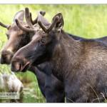 bullmooses_MG_9796