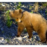 Collared Grizzly