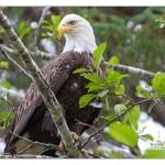 eagle_MG_8445sm