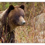 grizzly_MG_7926-ll