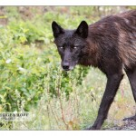 wolf_MG_5039sm