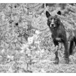 wolf_MG_5078bwsm