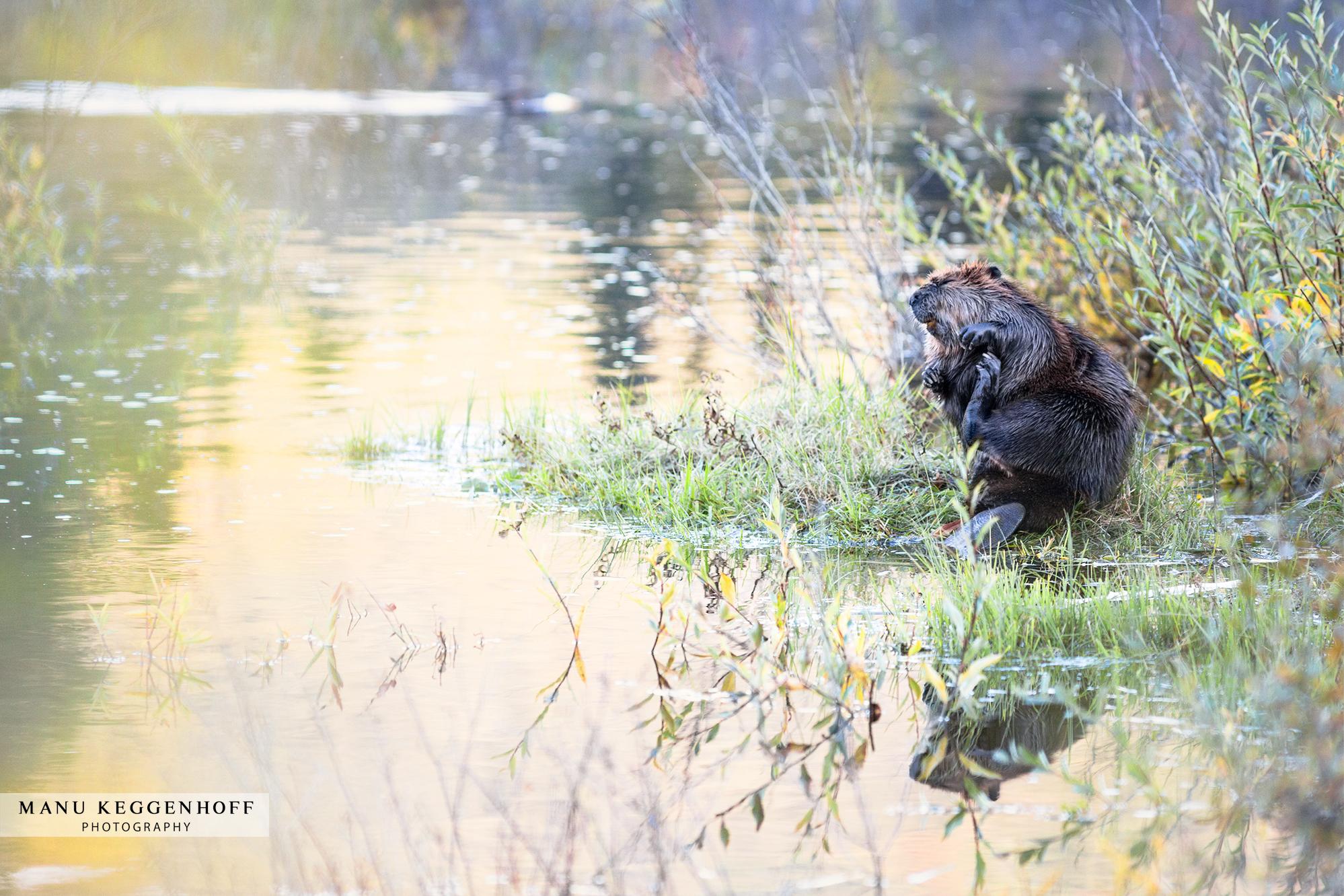 beaver_F1A5339sm